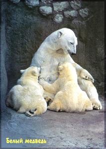 почтовая карточка с белыми медведями